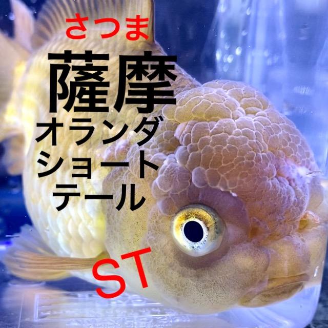 ◆薩摩養魚場産のオランダST(ショートテール)飼育や通販を含めた販売や価格帯とは。メノウではなく茶金タイプ
