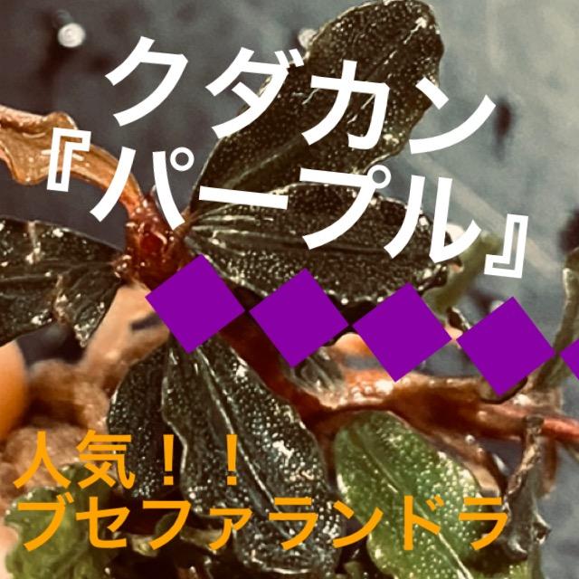 ◆『ブセファランドラSP.クダカンパープル』「レッド!ゴジラ!ではなくパープル?!」特徴や通販を含めた販売や価格帯とは。【Bucephalandra sp.】