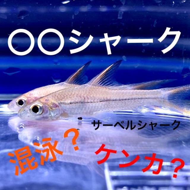 ◆『サーベルシャーク』の飼育。レッドテールブラックアルビノレインボー南米・・・『〇〇シャーク』という熱帯魚たち。