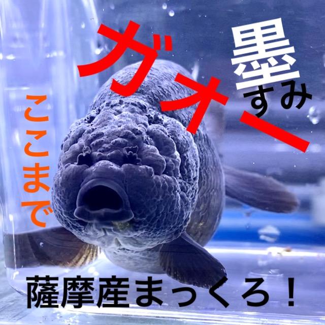 ◆薩摩養魚場産の真っ黒らんちゅうも眼が無いアクシデント。飼育や通販を含めた販売や価格帯とは
