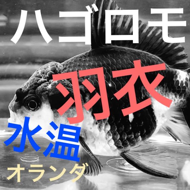 ◆羽衣オランダ(良物)届きました!導入、飼育、混泳のポイントとは【金魚】