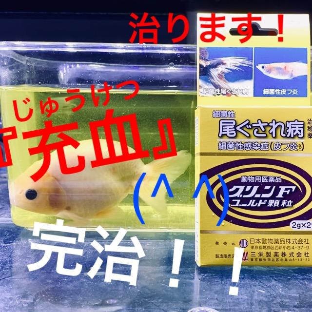 ◆新たな『低ペーパー治療』のチャレンジ。グリーンFゴールド顆粒が効かなかった…【金魚治療/充血/赤斑病】
