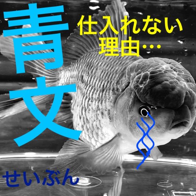◆【2020年】青文(せいぶん)金魚の最近。仕入れない理由と入荷後の混泳問題とは。