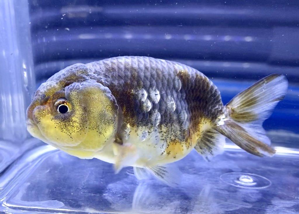◆金魚水槽の底砂が汚れた時の解決方法。お店の水槽はキレイ?解決アイテム?掃除する生き物は?
