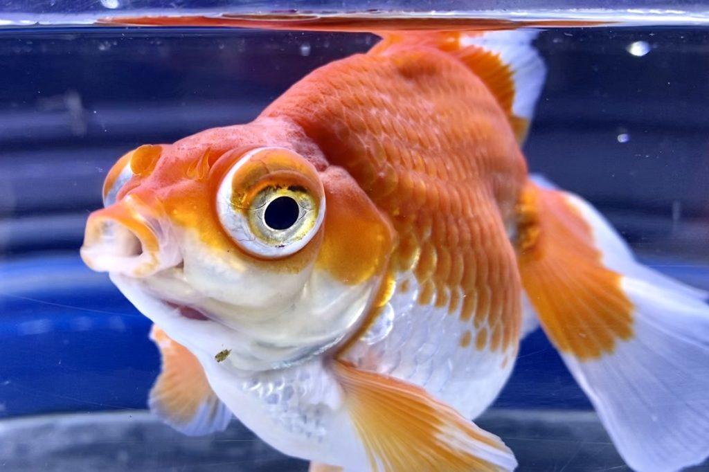 ◆金魚のカルキ抜き選び方「たくさんあって選び方とかないの?」ハイポやアクアセイフはどうちがう?
