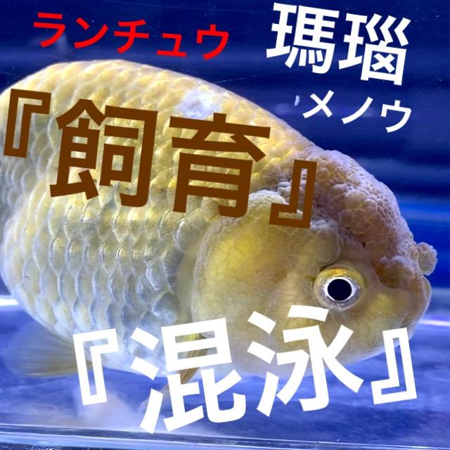◆中国産『瑪瑙ランチュウ』(めのうらんちゅう)飼育と混泳。お尻が浮き上がる転覆傾向は食事制限の影響かも。