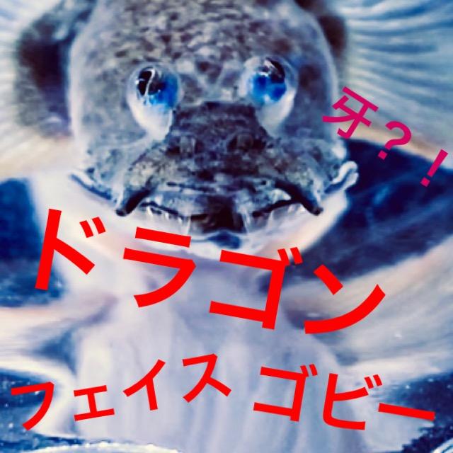 ◆『ドラゴンフェイスゴビー』ハゼの飼育と通販を含めた販売や価格帯とは【Oxuderces dentatus】