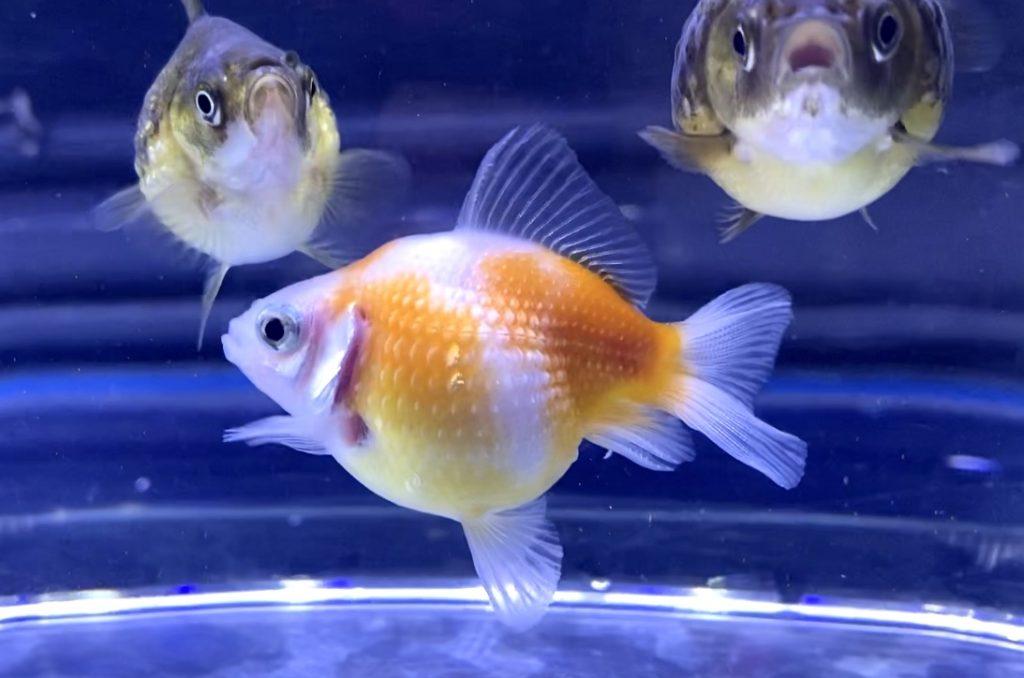 ◆【金魚初心者】ピンポンパールの育て方に追加で知っておきたい知識!