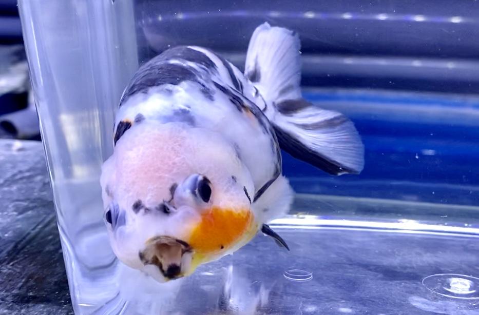 ◆金魚の『春』トラブル?!繁殖、水温変化、寄生虫(チョウ虫、ウオサジラミ)