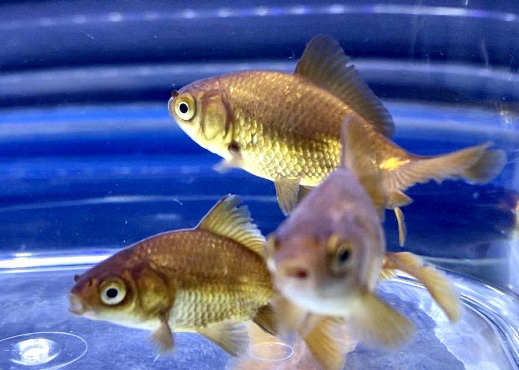 ◆木村産『茶和金=ちゃわきん』三尾(みつお)金魚の混泳とは。長物(ナガモノ)丸物(マルモノ)との相性。通販を含めた販売や価格帯。