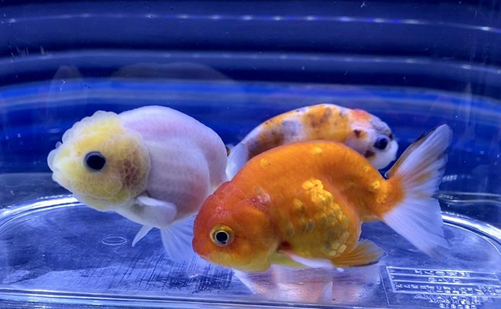 ◆金魚水槽でPHを下げる方法を考える。『底砂』と『降下剤』