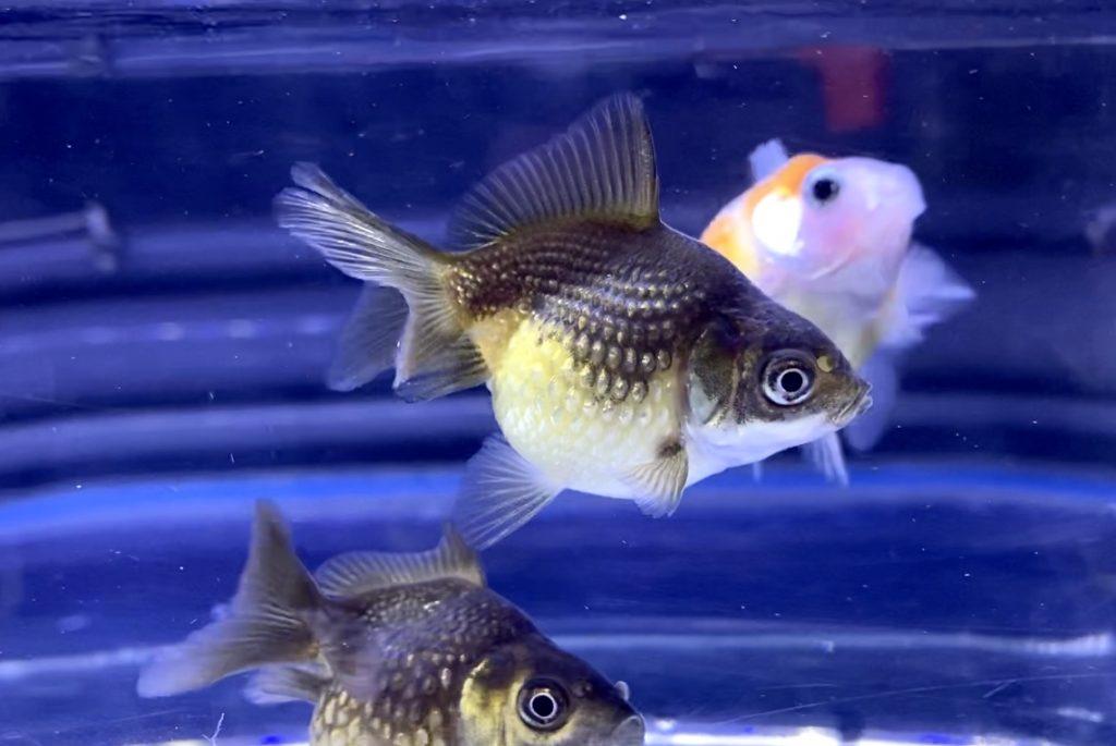 ピンポンパールを金魚鉢で飼いたい時はどうする?酸素タブレット?どんぶり金魚
