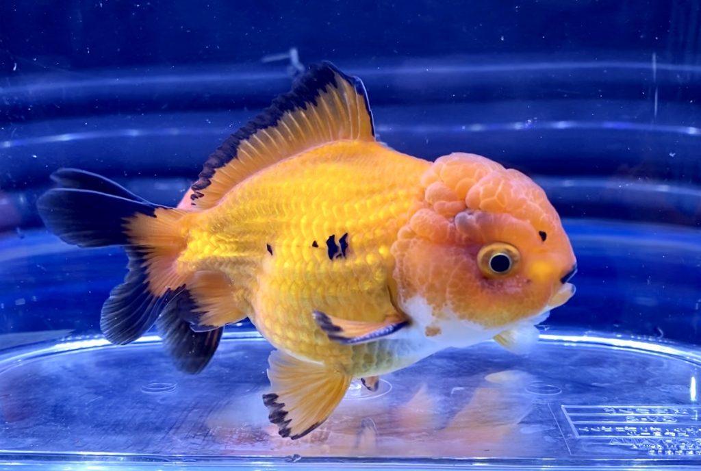 【初心者】にもお勧めの金魚パート④オランダ・東錦(アズマニシキ)・丹頂【飼育ポイント】