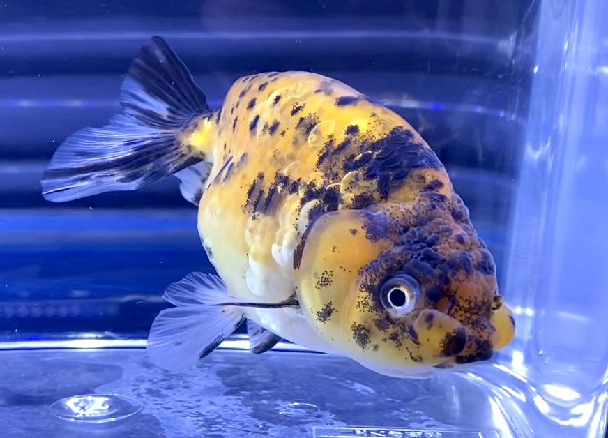 ◆金魚の寄生虫治療はなぜ起こる??初期症状は早期発見のポイント【イカリ虫、ウオジラミ】
