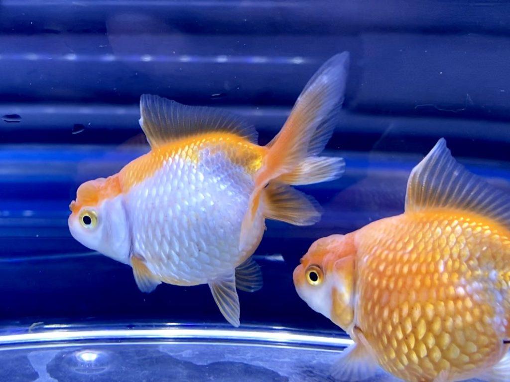 ◆元祖系『浜錦』とは。充血持ちの飼育レポートと産卵する金魚の年齢表現とは・・・【ハマニシキ】