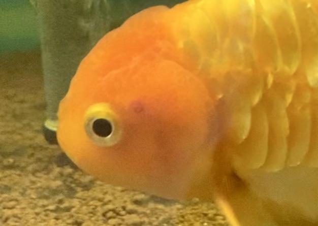 【大至急治療】ドラゴンフィンらんちゅうの【穴あき病】【金魚】