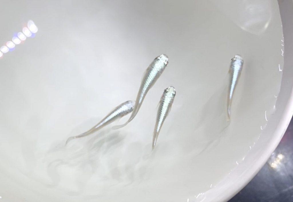 ◆室内飼育のメダカが産卵しない時は『外に出してみる』エサと水質の水槽飼育環境を見直すとは。
