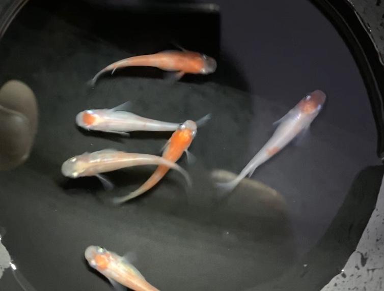 【新メダカ】祝(HAFURI)メダカ入荷。飼育や通販を含めた販売や価格帯とは。
