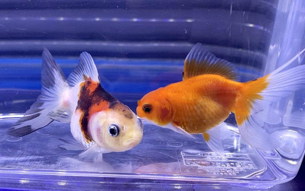 【金魚と水草】レイアウトに使うならば?アヌビアス、ミクロソリウム、ドラセナ