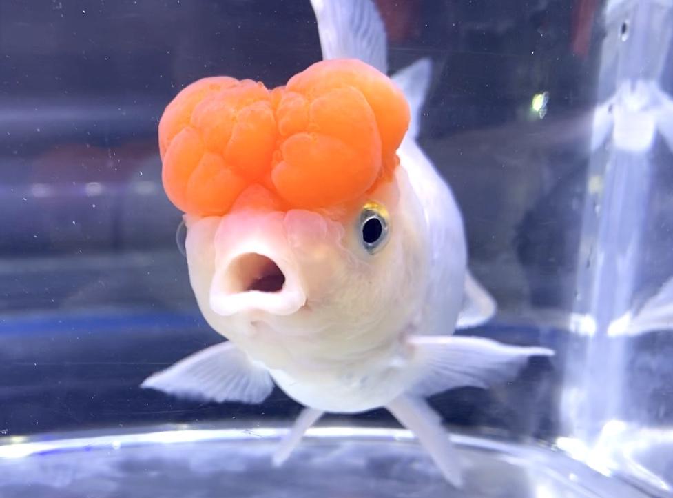 【金魚】丹頂バルーンヘッド・オランダ飼育レポ、通販を含めた販売や価格帯とは。