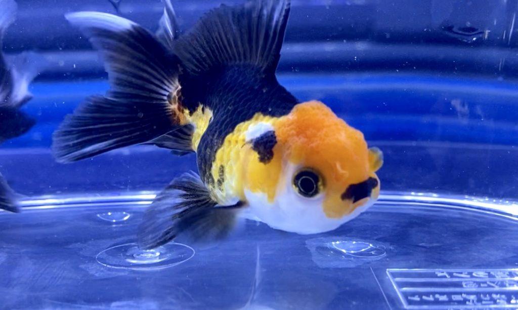 ◆ピンポンパールの混泳問題【金魚】実は他の種類と一緒に飼ってる人はいる。