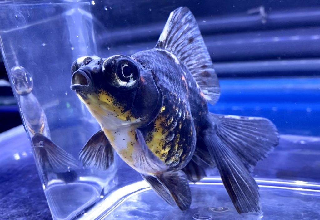 【金魚】キャリコ出目金ベールテール飼育の考え方。特徴、大きさ、餌、水温、水質とは。