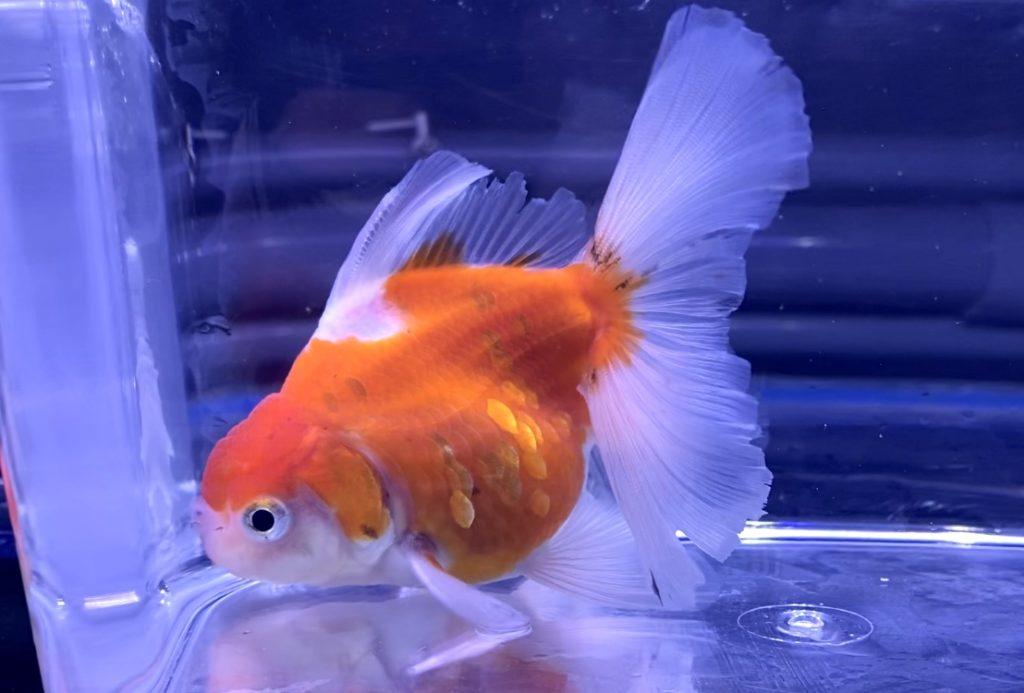 【金魚】オランダ・ローズテール初期飼育レポ。通販を含めた流通と販売価格とは。