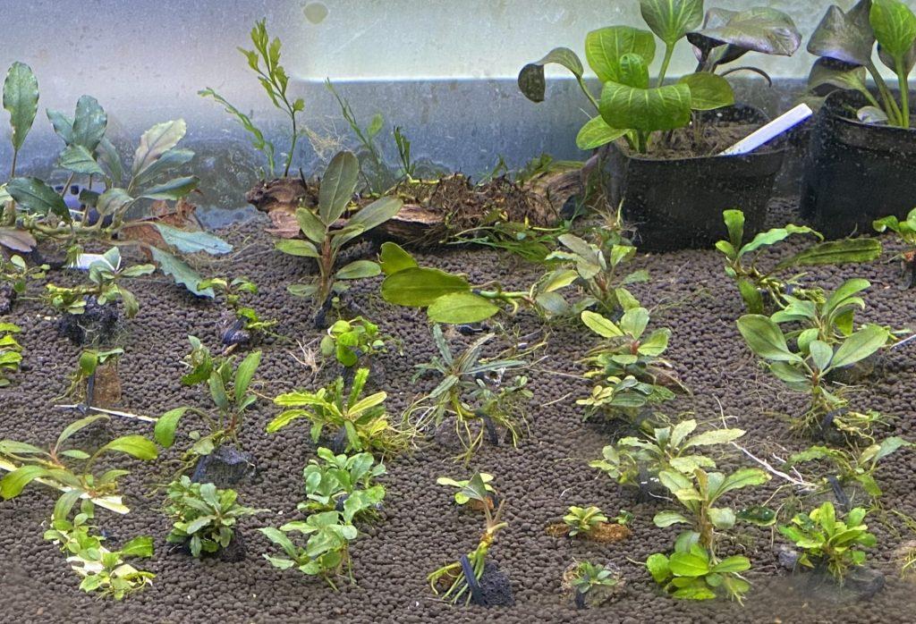 おうちでゆったり『畑水槽』アクアリウム。【ブセファランドラ】とヤマトヌマエビ、アベニーパファー混泳【水草】
