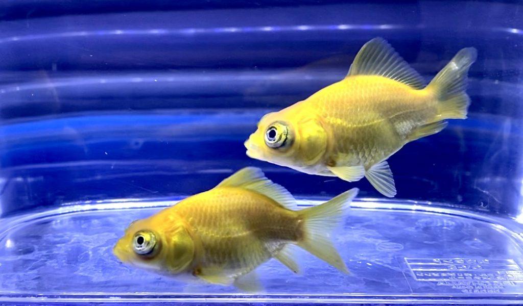 【珍金魚?!】出目金じゃなくて目前イエロー・・・飼育や通販を含めた販売や価格帯とは