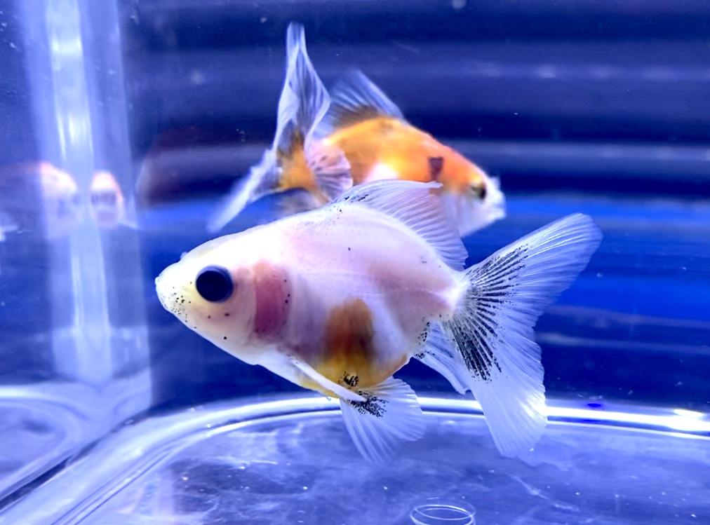【金魚】オランダベールテールの飼育や通販を含めた販売や価格帯とは。