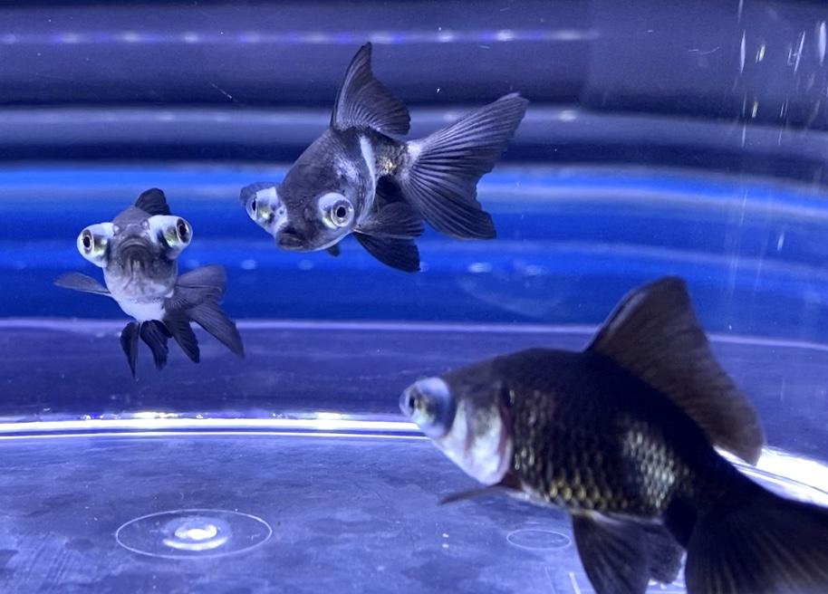【金魚】パンダ出目金が白くなるのは屋外?産地?飼育や通販を含めた販売や価格帯とは。