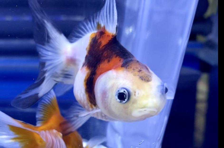 【もみじ金魚】紅葉琉金&オランダがやってきたら『口曲がり』?!飼育や通販を含めた販売価格や流通とは。