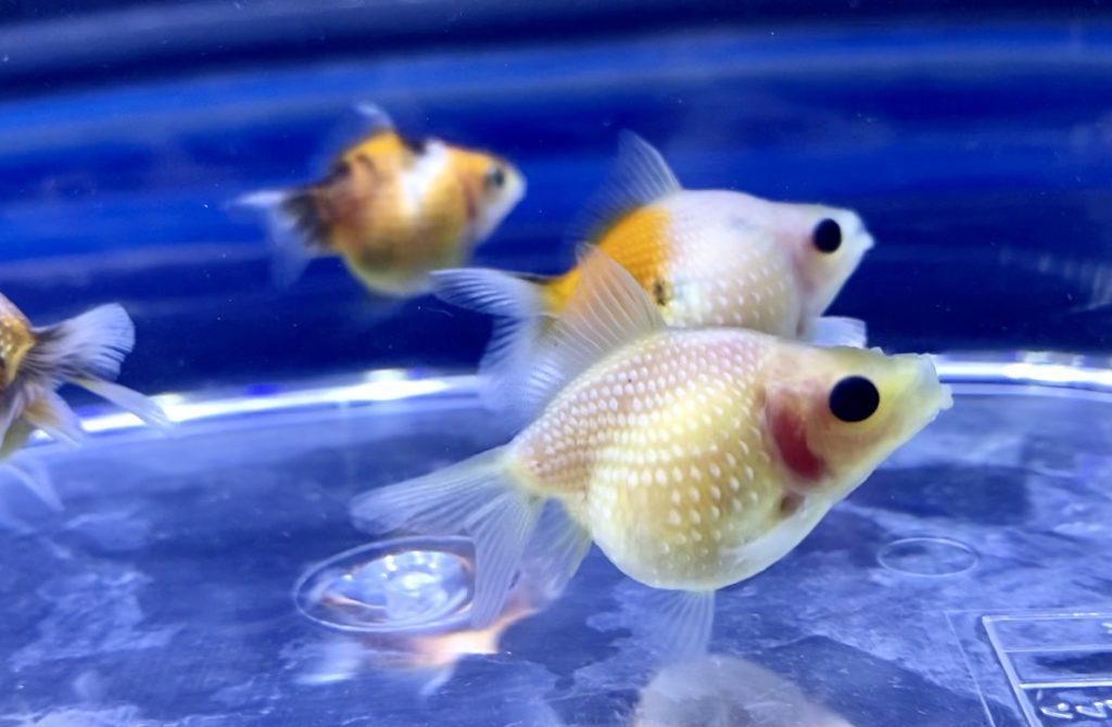 ピンポンパールは赤斑病になりやすい。赤い斑点の原因や治療方とは。【金魚】