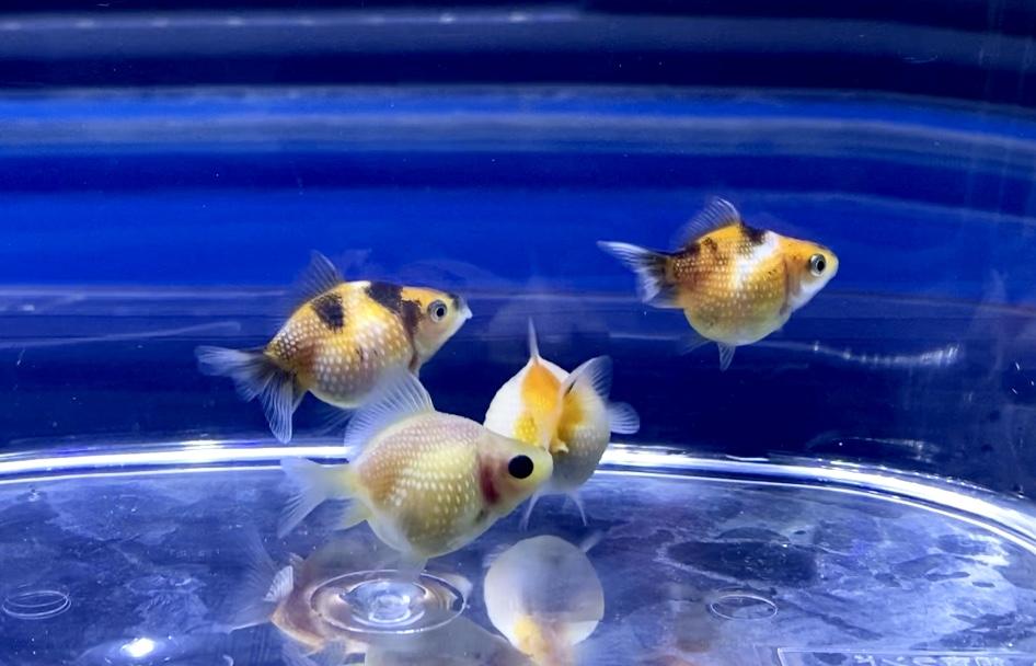 ◆お店の水槽がキレイなのはナゼ?裏ワザ?使いやすい道具と出会う【金魚】【アクアリム】