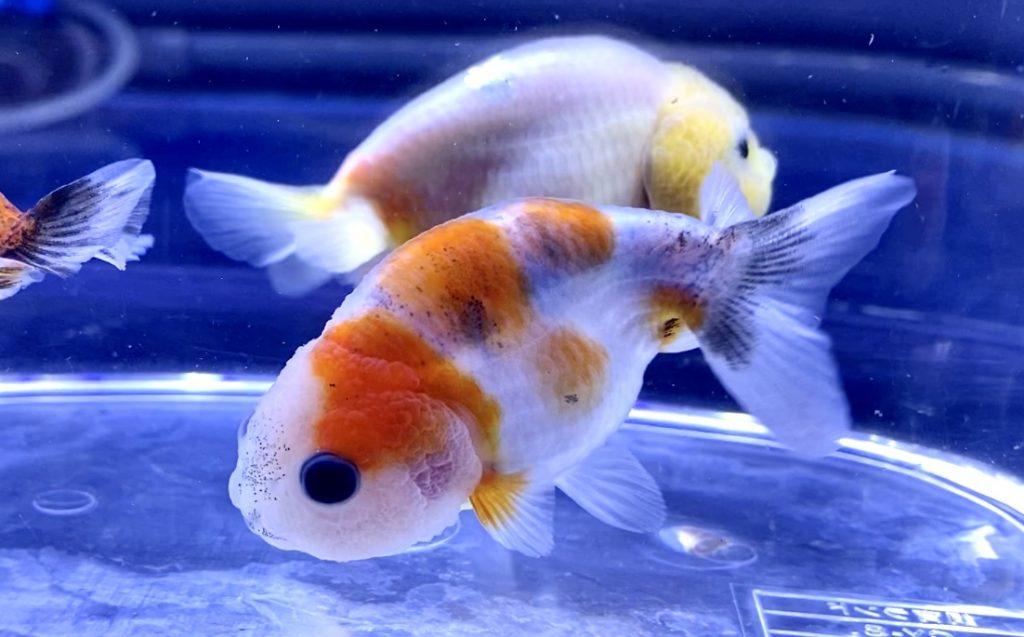 【金魚】薩摩養魚場産『らんちゅう』そんなに気難しい金魚ではない。