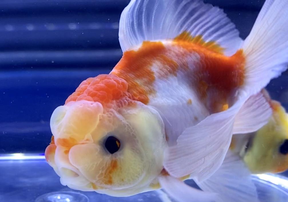【桜東錦】志村養魚場産でも値段は変わる。飼い方や通販を含めた販売や価格帯とは。【金魚】(さくらあずまにしき)