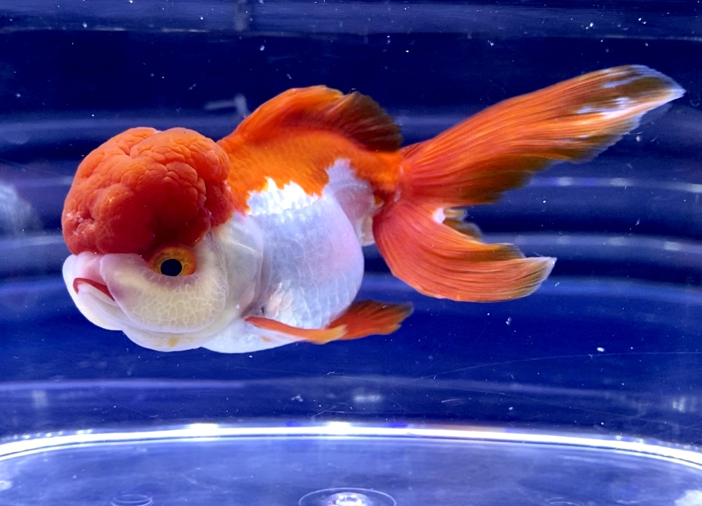 金魚が暑くてピンチの時にするサイン【飼育】水温は○○℃を目安に!