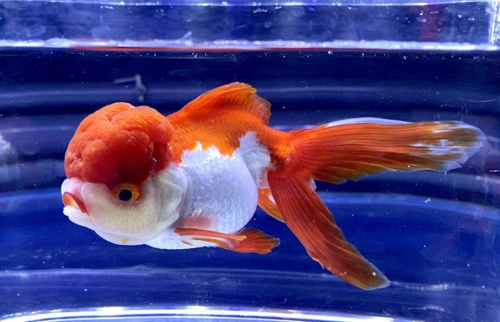 【ウラ技】わざと2段構え!0.5%に塩分濃度調整を上げる時【金魚】