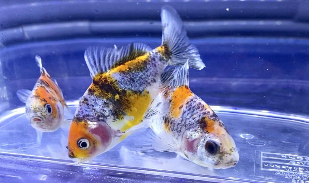 ◆おぎの養魚場産『キャリコ和金の五色』飼育や通販を含めた販売や価格帯とは