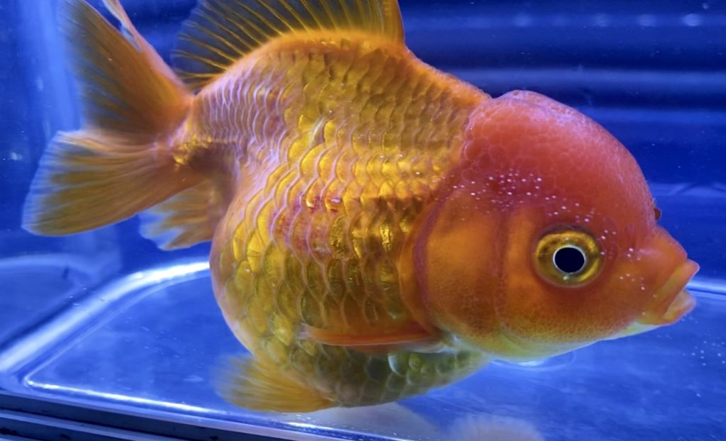【金魚】病気は病気を呼んでしまう。意外と『白点病』は怖い・・・『気がつくこと』が第一歩