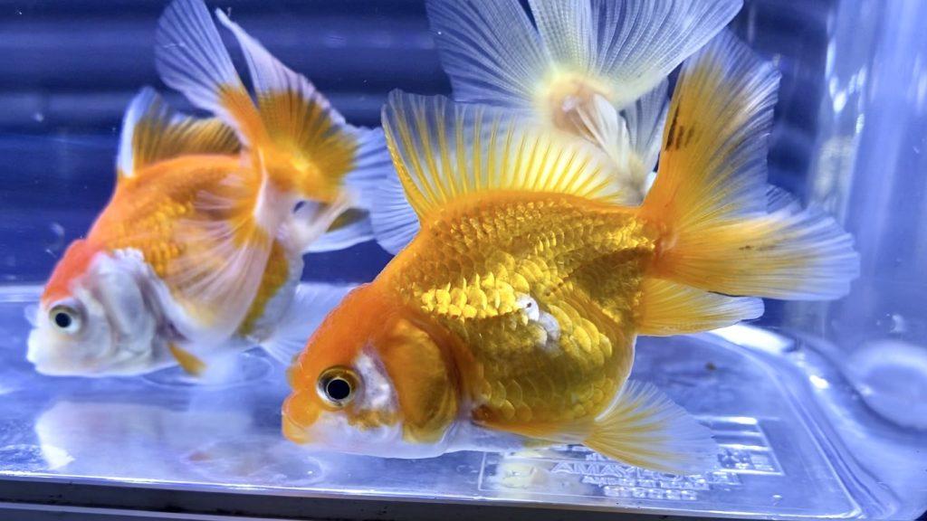 【金魚】オランダローズテールSMサイズの飼育環境や通販を含めた販売や価格帯とは。