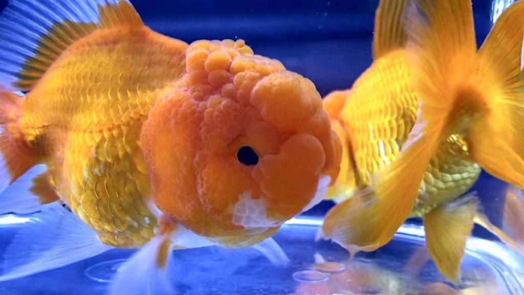 ◆金魚と水草の関係とは?飼育のポイント『水槽で酸素を作る』『水質浄化効果』『金魚のオヤツ』