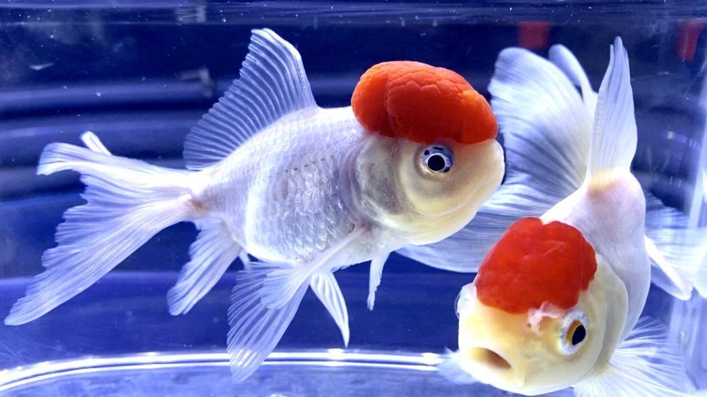 気にしておきたい金魚飼育の停電対策、酸素の補給方法【台風】電気が止まれば乾電池式エアーポンプ??