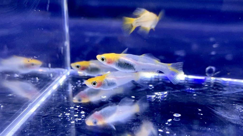 ◆更紗乙姫メダカの飼育や通販を含めた販売や価格帯とは。気になる紅白メダカの仲間(さらさおとひめ)