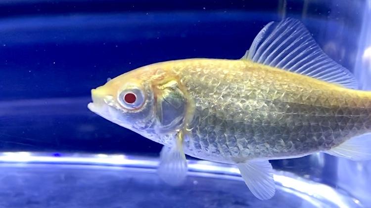 【珍魚】アルビノ鮒(フナ)の飼育や通販を含めた販売や価格帯とは