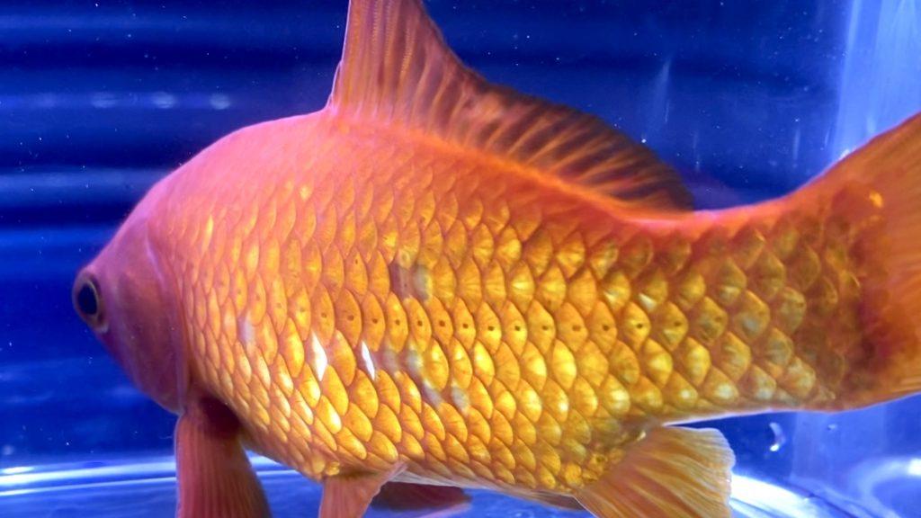 ◆金魚の鱗(ウロコ)がはがれてしまった時の治し方。原因となる道具の選び方とは。