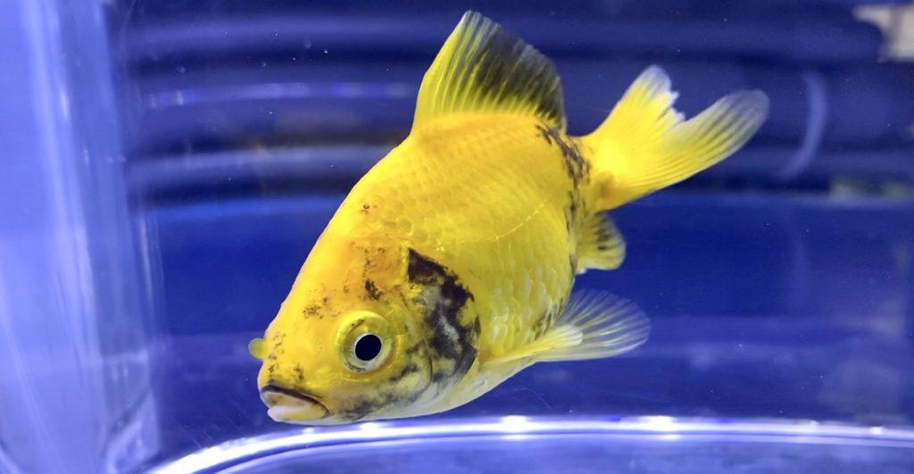 ◆金魚が黒くなる理由【写真あり】黒斑病と黒ソブの治し方・自然治癒。今後に気をつけるには。
