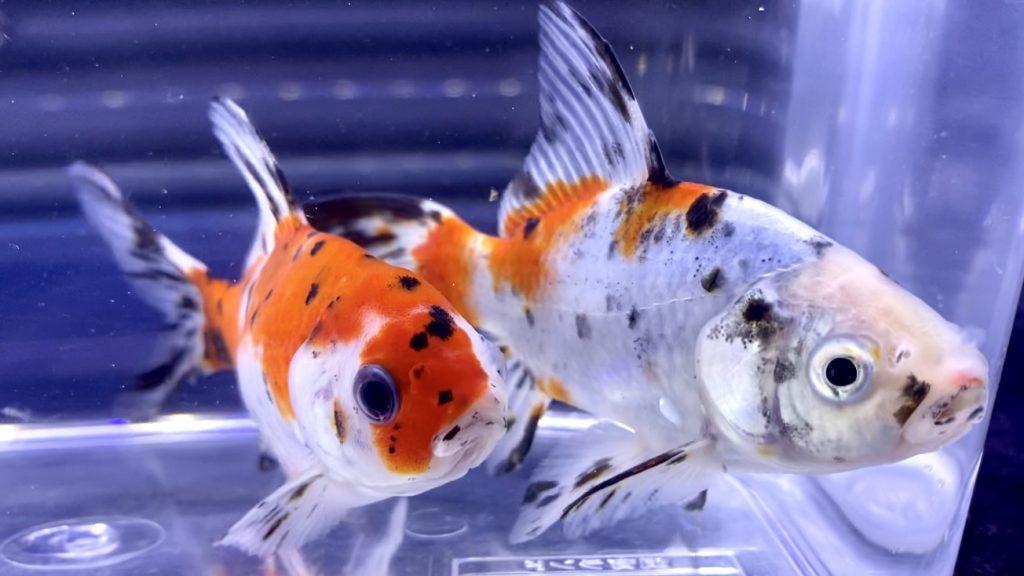 ◆暑い時はエサをあげない3つの理由とエサの選び方。金魚飼育ポイントとは