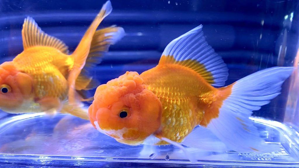 【金魚】オランダ獅子頭三歳【志村養魚場】飼育や通販を含めた販売や価格帯とは。年齢の違い?
