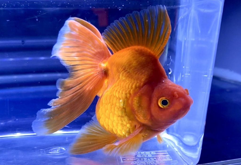 ◆平賀養魚場産の『更紗琉金』キャメルバック飼い方通販を含めた販売や価格帯とは。『いい金魚ってどんな個体?』『言葉で説明されてもピンと来ないから写真を見たい・・・』【金魚】